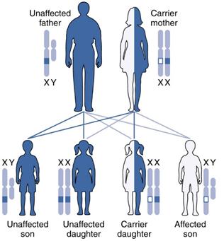 X-ALD Inheritance Chart